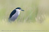 Night Heron (Nitticora)