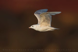 Iceland Gull (Gabbiano d'Islanda)