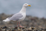 Glaucous Gull (Gabbiano glauco)