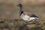 Brent Goose (Oca colombaccio)