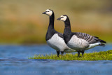 Barnacle Goose (Oca facciabianca)