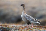 Pink-footed Goose (Oca zamperosee)