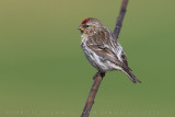 Common Redpoll (Acanthis flammea rostrata)