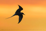 Arctic Tern (Sterna codalunga)