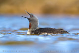 Red-throated Diver (Strolaga minore)