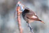 Black Redstart (Phoenicurus ochruros gibralatriensis)