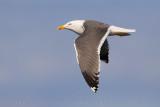 Lesser black-backed Gull (Zafferano)