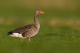 Greylag Goose (Oca selvatica)