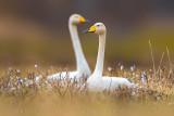 Whooper Swan (Cigno selvatico)