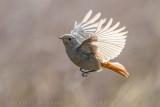 Black Redstart (Phoenicurus ochruros gibraltariensis)
