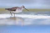Marsh Sandpiper (Tringa stagnatilis)
