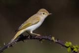 Western Bonelli's Warbler (Phylloscopus boneli)