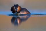 Crested Grebe (Podiceps cristatus)