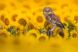 Little Owl (Civetta)