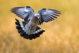 Eurasian Woodpigeon (Columba palumbus)