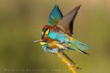European Bee-eater (Meros apiaster)