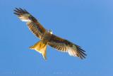 Red Kite (Nibbio reale)