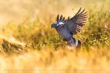 Common Woodpigeon (Columba palumbus)