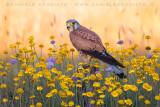 Eurasian Kestrel (Falco tinnunculus)