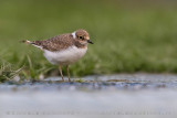 Little Ringed Plover (Corriere piccolo)