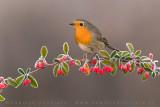 European Robin (Pettirosso)