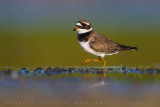 Ringed Plover (Corriere grosso)
