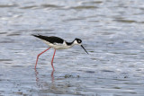 Black-necked Stilt - (Himantopus mexicanus)