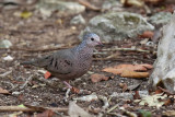 Common Ground-dove - (Columbina passerina)