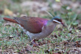 Key West Quail-Dove - (Geotrygon chrysia)