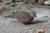 Common Ground-dove - (Colombina Passerina)