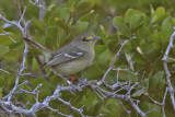Thick-billed Vireo - (Vireo crassirostris)