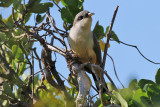 Mangrove cuckoo - (Coccyzus minor)