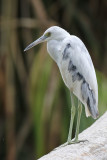 Little Blue Heron - (Egretta caerulea)
