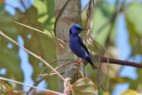 Red-legged Honeycreeper - (Cyanerpes cyaneus)