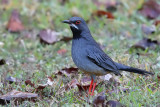 Red-legged Thrush - (Turdus plumbeus)
