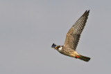 Aftonfalk - Red-footed falcon - (Falco vespertinus)