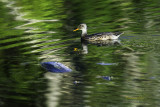 Water fowl found at Heron Haven