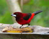 Crimson backed tanager