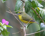 Thick billed euphonia