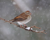 Chipping sparrow (winter plumage)