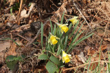 Native daffodils