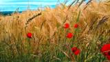 barley field edge