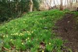 More wild daffodils