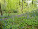 Bluebells in castle wood