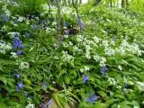 Wld Garlic and Bluebells