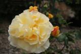 Yellow dog rose