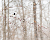Chickadee on ice covered branch