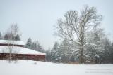 Oak tree and barn