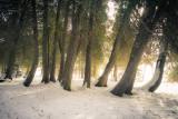 A group of Cedar trees