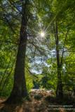 Pine tree with sunburst, at Little Falls